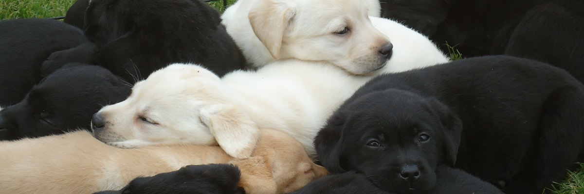 Fabulous puppies that make excellent family pets